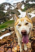 Close up of dog in alpine Sierra wilderness, Sierras, California, USA
