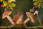 Wet red squirrel with mushrooms and raspberries in rain Bispgarden, Jamtland, Sweden