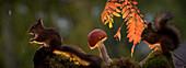 Red squirrels (Sciurus vulgaris) standing near mushroom in dark, Bispgarden, Jamtland, Sweden
