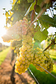 Coastally grown grapes for winemaking as part of a southern New England Vineyard, with lens flare