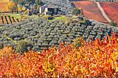 Europe,Italy,Umbria,Perugia district,Montefalco, Vineyards in autumn