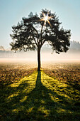 Shadow of a lonely tree at sunrise, Colverde, Como province, Lombardy, Italy, Europe