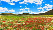 Blooming of poppies in lentil fields of Santo Stefano di Sessanio, Abruzzo, Italy