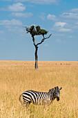 Masai Mara Park, Kenya,Africa,Zebras grazing on the savannah in Africa