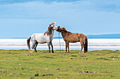 Two horses playing on the shores of Hovsgol Lake, Hovsgol province, Mongolia