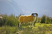 close up of a yellow sheep, Isle of Harris, western scotland,United Kingdom
