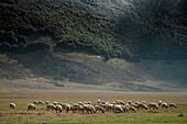 Flock of sheeps grazing, Campo Imperatore, L'Aquila province, Abruzzo, Italy, Europe