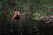 Bornean orangutan (pongo abelii) in Tanjung Puting river, Tanjung Puting National Park,Southern Kalimantan; Kalimantan, Indonesia
