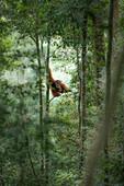 Sumatran orangutan high up on a tree in the primary forest in Gunung Leuser National Park, Northern Sumatra