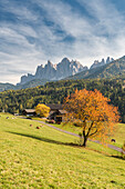 Funes Valley, Dolomites, province of Bolzano, South Tyrol, Italy, Autumn colors in the Funes Valley with the Odle peaks in the background