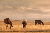 Europe,Italy,Umbria,Perugia district,Castelluccio di Norcia, Horses at sunrise
