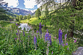 Violet flowers in high Gressoney Valley, Aosta Valley, Italy, Europe