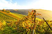 Vine rows in autumn, Offida village, Ascoli Piceno distrct, Marche, Italy