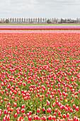 Multicolored fields of tulips in bloom, Noordoostpolder, North Holland, netherlands