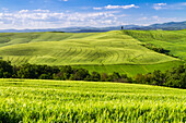 Green hills of wheat in the countryside near Asciano, Val d'Orcia, Tuscany, Italy