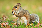 Grey squirrel, Richmond Park, Greater London, England, United Kingdom, Europe