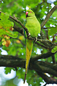 Ring-necked Parakeet (Psittacula krameri), Richmond Park, Greater London, England, United Kingdom, Europe