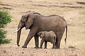 A mother and baby elephant (Loxondonta africana) in Tarangire National Park, Manyara Region, Tanzania, East Africa, Africa