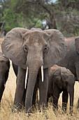 A mother and baby elephant (Loxondonta africana) in Tarangire National Park, Manyara Region, Tanzania, East Africa, Africa