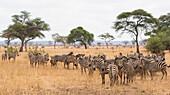 Burchells zebras (Equus burchelli) in Tarangire National Park, Manyara Region, Tanzania, East Africa, Africa
