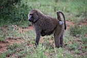 A baboon in Serengeti National Park, Tanzania, East Africa, Africa