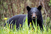 Portrait of curious bear in grass