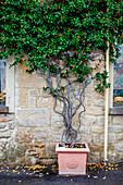 Street plant, Volterra, Italy Tuscany, Europe