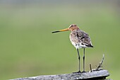 Black-tailed godwit (Limosa limosa) perched on a fence post, Lake Duemmer, Germany