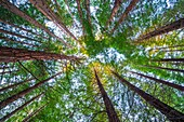 SEQUOIA - SEQUOYA (Sequoia sempervirens) is the sole living species of the genus Sequoia in the cypress family Cupressaceae (formerly treated in Taxodiaceae). Common names include coast redwood, coastal redwood and California redwood.