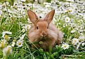 Rabbit (Leporidae) sitting among white flowers. Sweden