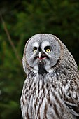 Portrait of great grey owl (Strix nebulosa) on green background, Sweden