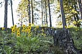 Wild flowers in early morning light in western Montana.