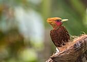Chestnut-colored woodpecker, Celeus castaneus, eating from a coconut at Laguna del Lagarto, Boca Tapada, San Carlos, Costa Rica.