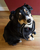 High Angle View of Black Dog Holding Leash in Mouth