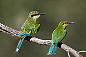 Swallow-tailed bee-eater (Merops hirundineus) adult and juvenile, Kgalagadi Transfrontier Park, South Africa, Africa