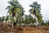 Coconut farm in Assinie, Ivory Coast, West Africa, Africa