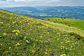Wild flowers in bloom and horses, Mountain Acuto, Apennines, Umbria, Italy, Europe