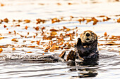 Sea otter (Enhyrda lutris), endangered species, calm waters of Sitka Sound, Sitka, Northern Panhandle, Southeast Alaska, United States of America, North America