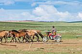 Mongolian nomadic man on motorbike gathering horses, Middle Gobi province, Mongolia, Central Asia, Asia