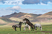 Wild horses playing and grazing and Khangai mountains in the background, Hovsgol province, Mongolia, Central Asia, Asia