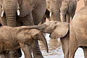 Group of African elephants with baby (Loxodonta africana), Serengeti National Park, Tanzania, East Africa, Africa