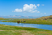 Grazing horses, Road to Song Kol Lake, Naryn province, Kyrgyzstan, Central Asia, Asia
