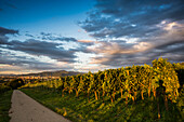 vineyards, sunset, Freiburg im Breisgau, Markgräflerland, Black Forest, Baden-Württemberg, Germany