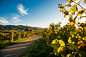 vineyards, sunset, Ehrenstetten, near Freiburg im Breisgau, Markgräflerland, Black Forest, Baden-Württemberg, Germany