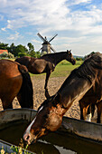 Horses in front of the windmill of Benz, Usedom, Ostseeküste, Mecklenburg-Western Pomerania, Germany