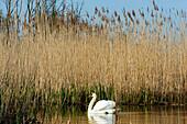 Swan in the Recknitztal, Ostseeküste, Mecklenburg-Western Pomerania, Germany