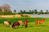 Horses on a meadow, Kirchdorf, Insel Poel, Ostseeküste, Mecklenburg-Western Pomerania, Germany