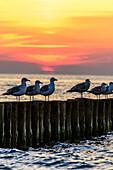 Seagulls are sitting in sunset on groynes, Ahrenshoop, Fischland, Ostseeküste, Mecklenburg-Western Pomerania, Germany