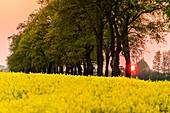 Rape field at sunset in Recknitztal, Ostseeküste, Mecklenburg-Western Pomerania, Germany