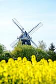 Windmill with rape field, Klützer angle, place Klütz, Ostseeküste, Mecklenburg-Western Pomerania Germany